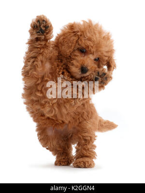 Red Toy labradoodle puppy jumping up. - Stock Photo