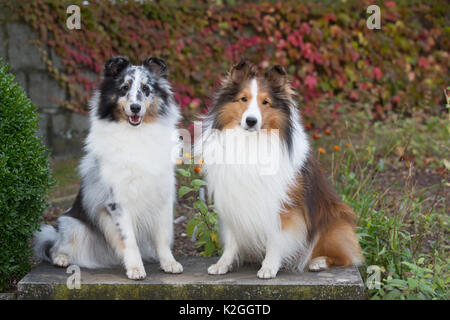 Shetland sheepdogs in autumn, Waterford, Connecticut, USA. - Stock Photo