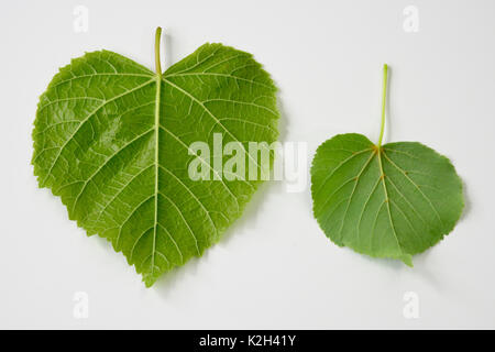 Large leaved Lime (Tilia platyphyllos) left side, leaf and littel-leaved LIme (Tilia cordata)right side, leaf - Stock Photo