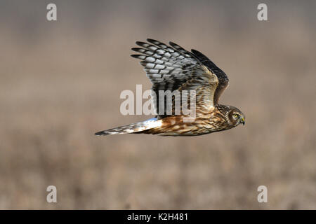 Hen Harrier, Marsh Hawk, Northern Harrier (Circus cyaneus), female in flight - Stock Photo