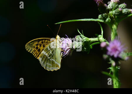 Silver-washed Fritillary Butterfly (Argynnis paphia) feeding from a thistle flower - Stock Photo