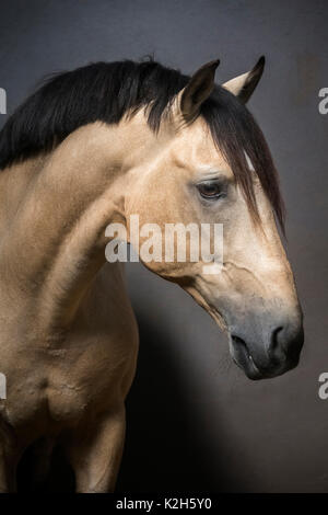 Lusitano. Portrait of dun stallion. Portugal - Stock Photo