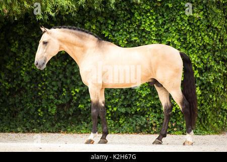 Lusitano. Dun stallion standing in a paddock. Portugal - Stock Photo
