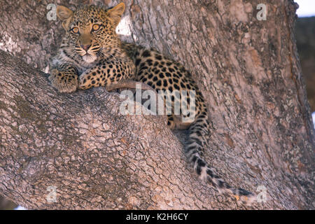 Leopard (Panthera pardus), seven month old cub in a crotch - Stock Photo