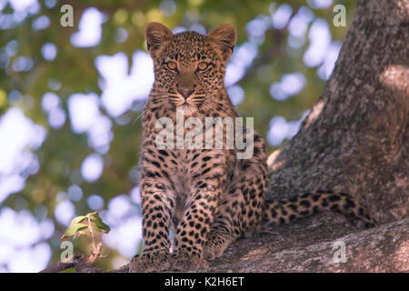 Leopard (Panthera pardus), seven month old cub in at ree - Stock Photo