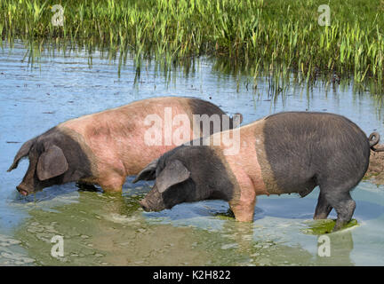 Domestic Pig (Sus scrofa domestica), breed: Angeln Saddleback, two individuals standing in a pond drinking - Stock Photo