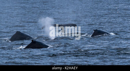 Group of humpback whales  (Megaptera novaeangliae) in Southeast Alaska's Inside Passage. - Stock Photo