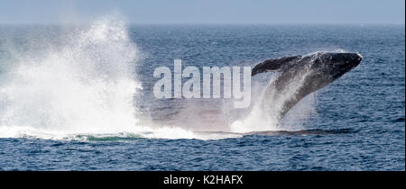 Humpback whale (Megaptera novaeangliae) breaching in Southeast Alaska's Inside Passage. - Stock Photo