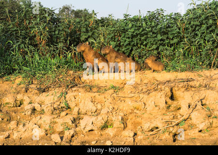 Capybara family (Hydrochaeris hydrochaeris) on a river bank, Cuiaba River, Pantanal, Mato Grosso, Brazil - Stock Photo