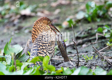 Juvenile Rufescent Tiger Heron (Tigrisoma lineatum) with a fish in beak, Pantanal, Mato Grosso, Brazil - Stock Photo