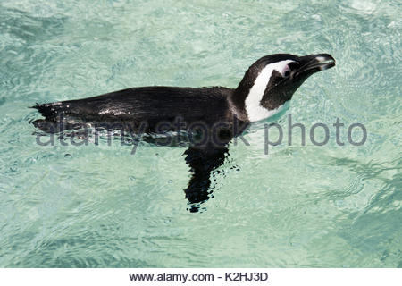 African Penguin (Spheniscus Demersus) swimming in clear water in daytime. It is also known as the jackass penguin - Stock Photo