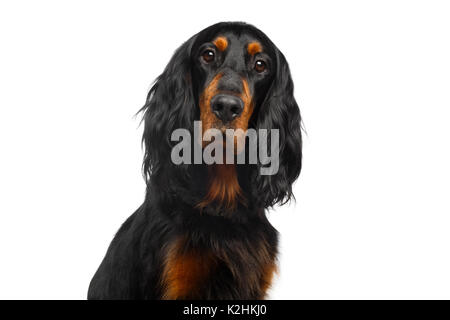Portrait of English Setter Dog Isolated on White Background - Stock Photo