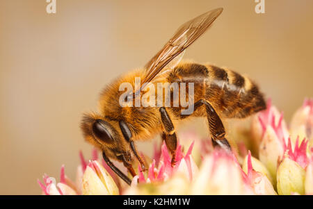 Western Honeybee, Apis Mellifera - Stock Photo