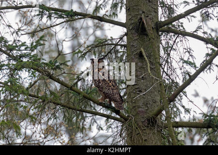 Eurasian eagle owl (Bubo bubo) perched in pine tree in coniferous woodland - Stock Photo