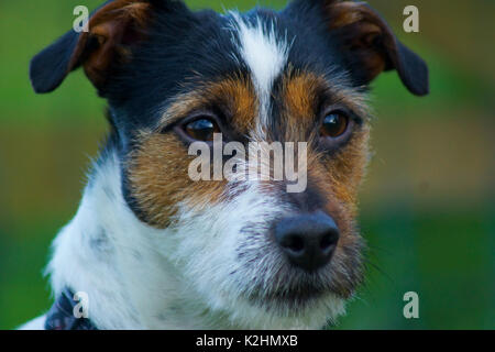 A Jack Russell Terrier in a field - Stock Photo