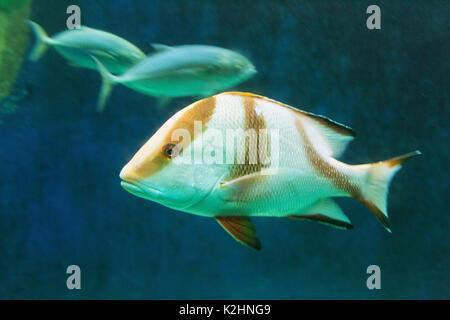 The Emperor red Snapper fish ( Lutjanus sebae ), St Malo Aquarium - Stock Photo