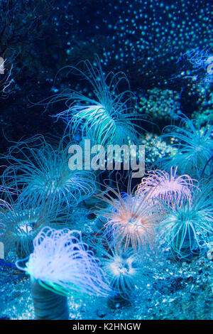 Sea Anemone - a selection of Sea Anemones ( Actiniaria ), St Malo aquarium, Brittany France - Stock Photo