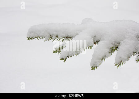 Spruce branches covered with snow, Branch of fir tree in snow, background - Stock Photo