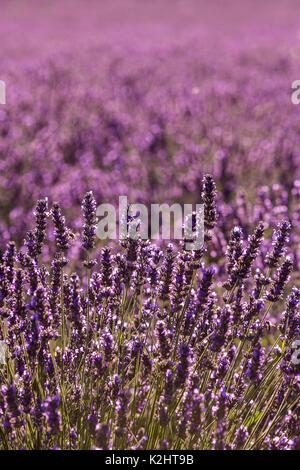 Lavender fields ((Lavandula), near Sault, Provence. - Stock Photo