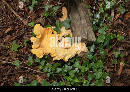 Yellow Brain fungus, Tremella mesenterica (common names include yellow brain, golden jelly fungus, yellow trembler, - Stock Photo