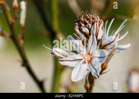 A white and yellow Summer Asphodel Flower growing in the Maltese countryside and attracting insects.Malta - Stock Photo