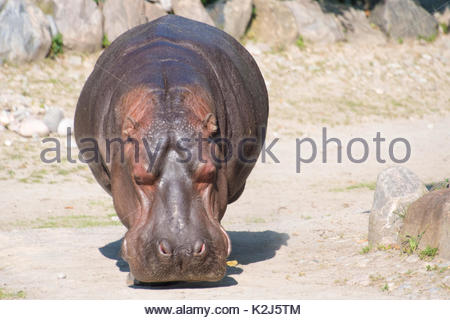 The common hippopotamus walking in dry ground as it approaches the pond - Stock Photo