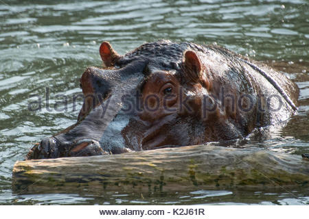 The common hippopotamus swimming in the water of a pond.  The Hippopotamus amphibius, or hippo, is a large, mostly - Stock Photo