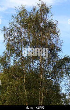 Ornamental weeping branches from upright growth in the hardy, silver barked birch, Betula pendula 'Tristis' - Stock Photo