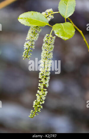 Dangling raceme with cream and white flowers of the hardy small tree, Itea ilicifolia - Stock Photo