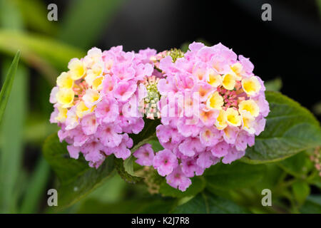 Yellow fading to Lavender flowers in the heads of the tender summer bedding plant, Lantana camara 'Lucky Lavender' - Stock Photo