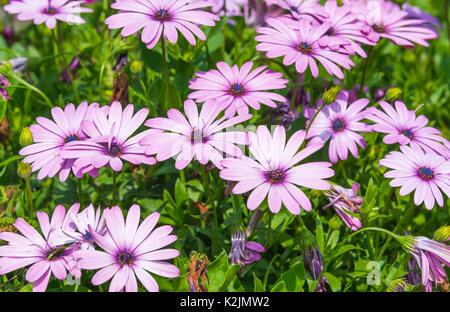 African daisies (Osteospermum ecklonis) in late Summer in West Sussex, England, UK. Pink African daisy. - Stock Photo