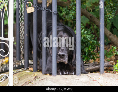 Sad dog looking out from behind a fence in a front garden. - Stock Photo