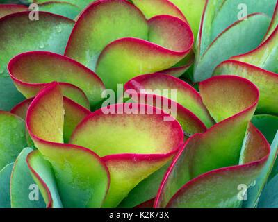 Flapjack plant Kalanchoe thyrsiflora - Stock Photo