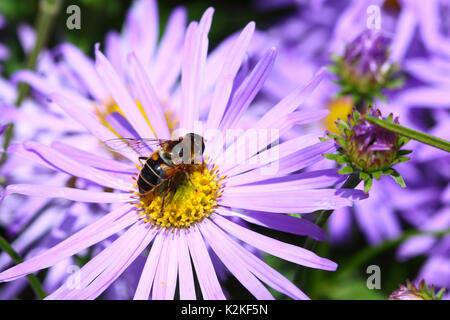 Leeds, UK. 31st Aug, 2017. UK Weather. Insects were busy pollinating the beautiful flowers at Golden Acre Park in - Stock Photo