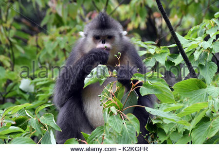 China. 27th Aug, 2017. A snub-nosed monkey rests in a tree at Snub-nosed Monkey National Park in southwest China's - Stock Photo