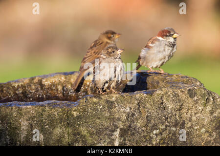 Northampton, UK. 1st September 2017. UK Weather: Sunshine for the early morning wash and drink in the birdbath, - Stock Photo