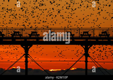 Starlings swarm around Aberystwyth's Royal Pier on a winters evening just after the sun goes down. - Stock Photo