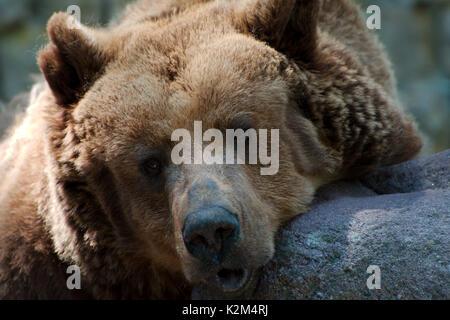 Single brown bear - Stock Photo