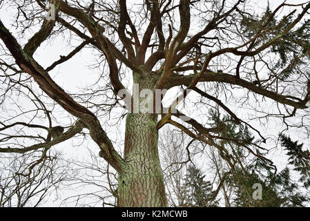 Big mossy tree branches without leaves in winter - Stock Photo