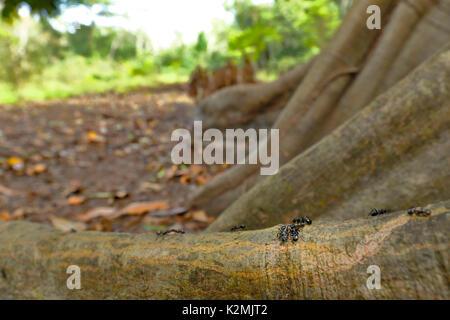 Bullet ant (Paraponera clavata), walking on tree roots