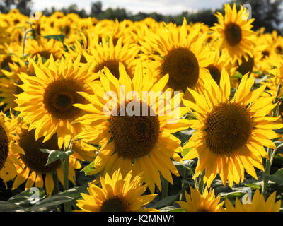Sunflowers in a field in Buckinghamshire with vibrant backlit petals. Landscape with many flowers of vibrant yellow - Stock Photo