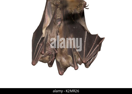 Egyptian fruit bats (Rousettus aegyptiacus) - Stock Photo