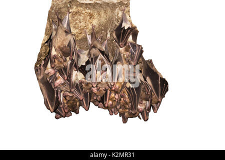 Egyptian fruit bats (Rousettus aegyptiacus) - Stock Photo