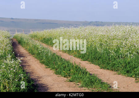 Vehicle tracks or walking bridleways tracks merging at a vanishing point on farmland in a flower meadow with crops - Stock Photo