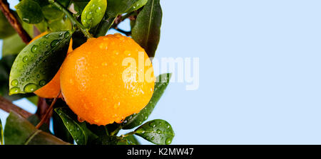 Orange citrus mandarin fruit branch with water drops on green leaves. Summer time garden photo. Blue sky background, - Stock Photo