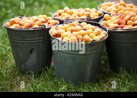 Still life with apricots in a buckets. Ripe healthy orange red fruits. Macro view farmers harvest. - Stock Photo