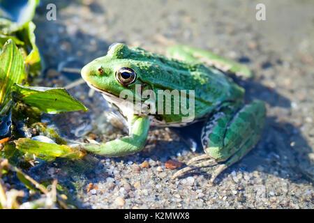 Green marsh frog natural habitat river coast background, camouflage dots amphibian Pelophylax ridibundus. Up view, - Stock Photo