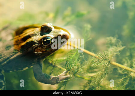 Natural habitat swimming green frog Marsh, brown camouflage amphibian Pelophylax ridibundus. Up view, selective - Stock Photo