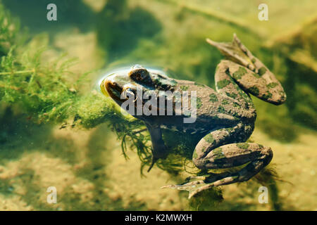 Swimming green frog Marsh natural habitat, brown camouflage amphibian Pelophylax ridibundus. Up view, selective - Stock Photo
