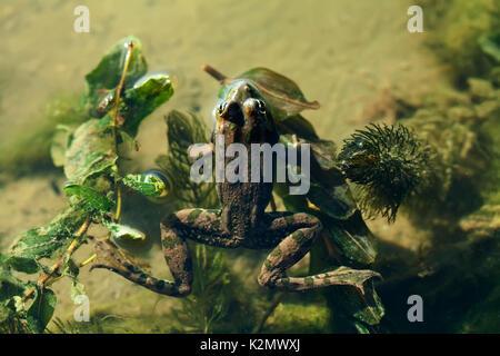 Natural habitat marsh frog green brown camouflage amphibian Pelophylax ridibundus. Up view, selective focus, river - Stock Photo